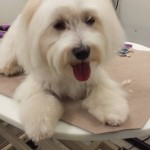 mobile-dog-grooming-san-antonio-fl
